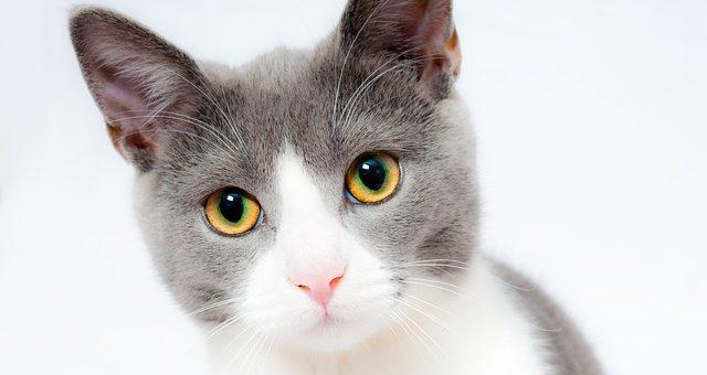 Problemele urinare ale pisicii