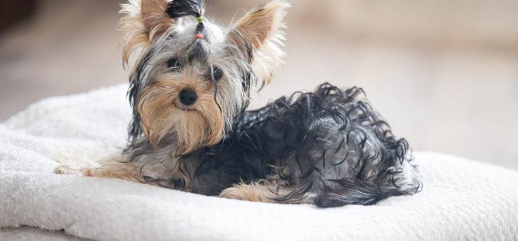 De ce să deparazitezi câinele împotriva Giardiei?