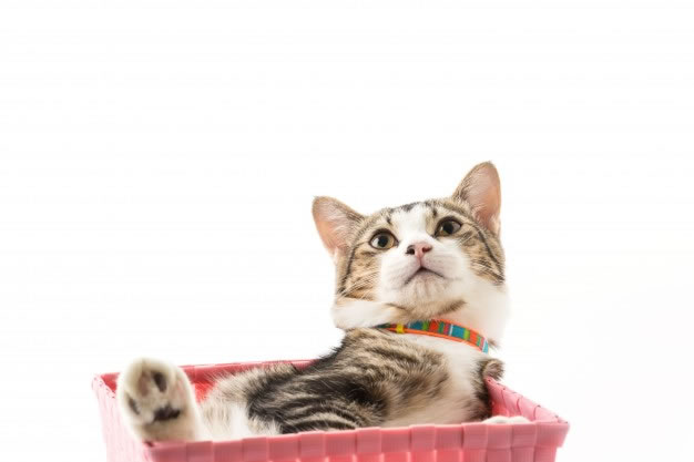 afectiuni-boli-pisica-veterinar-sibiu